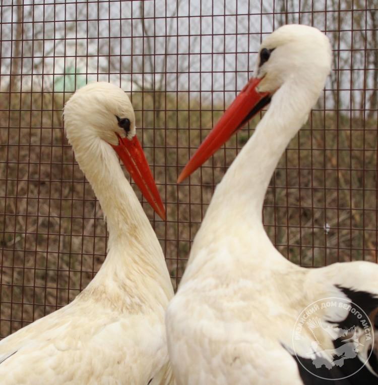 Возлюбленные перебирают перья на груди и шее друг друга, прикасаются друг к другу и постоянно находятся вместе.