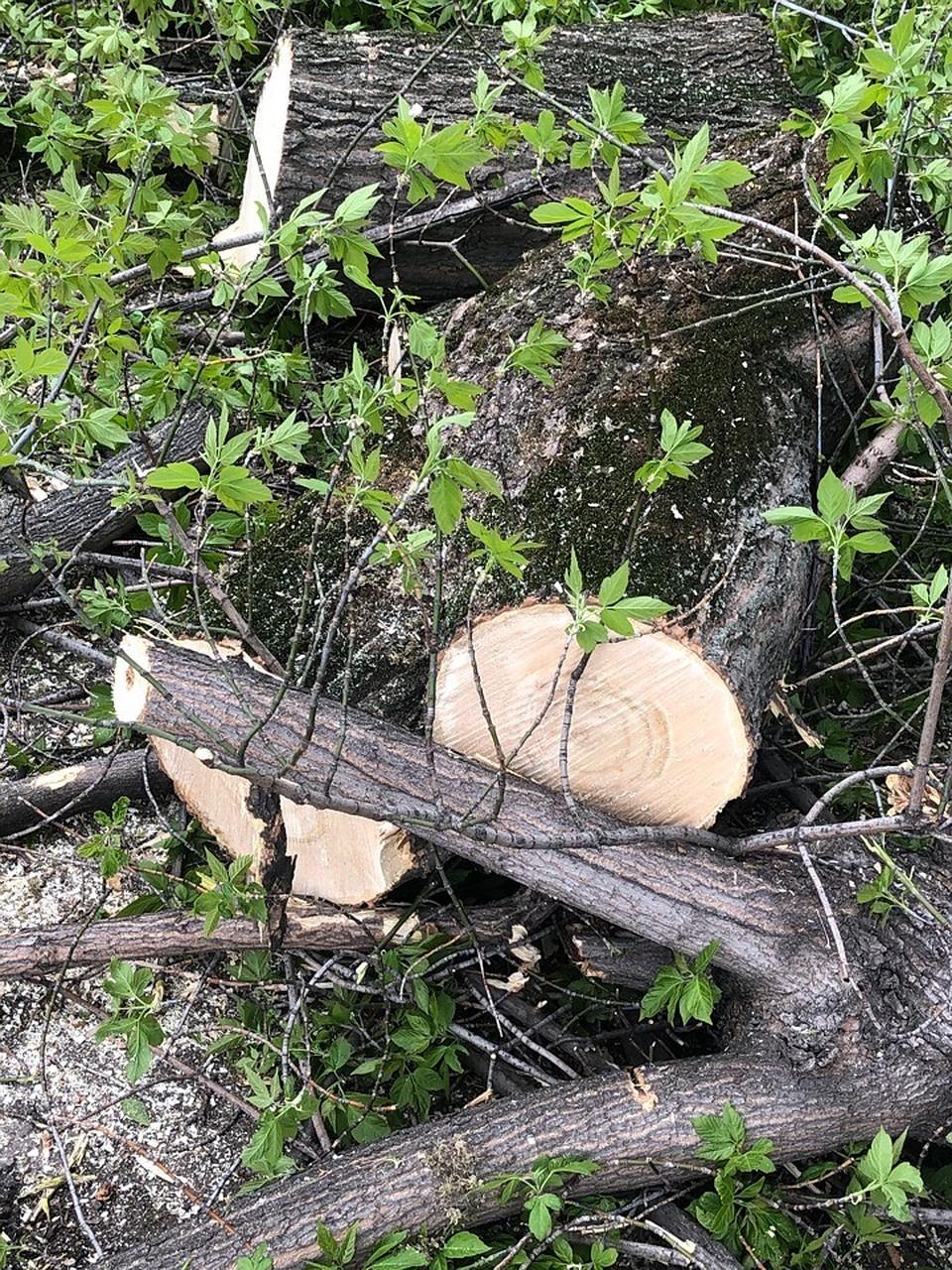 Жители уверены, что вместе со старыми уничтожают и молодые деревья. Фото соцсетей