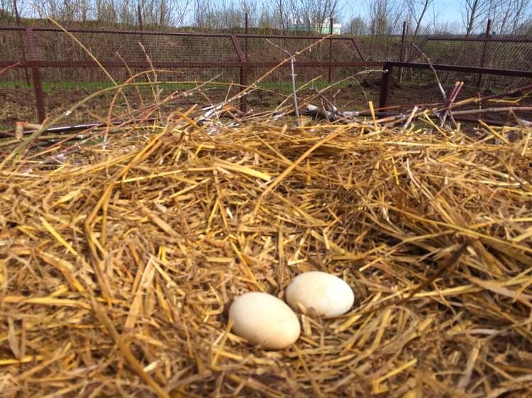 Оставшись в уединении, птицы решили заняться продолжением рода. Пока в кладке два яйца.