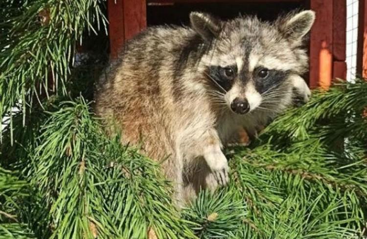 Пришлось до утра утеплять летние жилища зверюшек хвоей. Фото предоставлено Сибирским зоопарком.