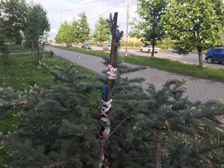 Новая верхушечка голубой елки - из боковой ветви.