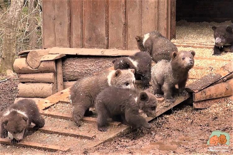 «Центр спасения медвежат-сирот» вырастил и отпустил в лес уже сотни малышей.