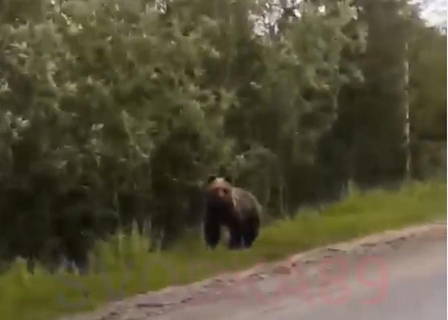 Медведь на поле с марихуаной конопля при гипертонии