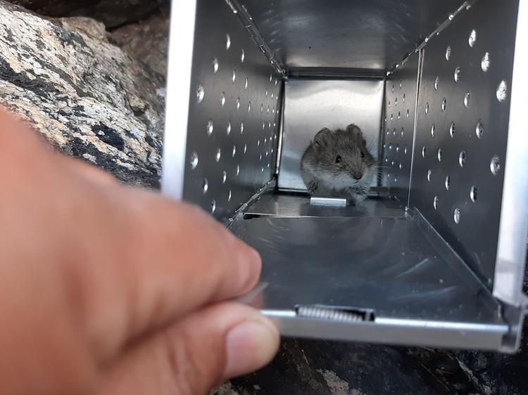 Ученым удалось поймать одного грызуна в ловушку. Фото: Игорь Моролдоев.