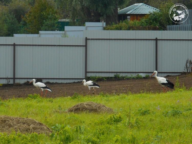 После слета с гнезда птенцы гуляют по территории питомника вместе с родителями.