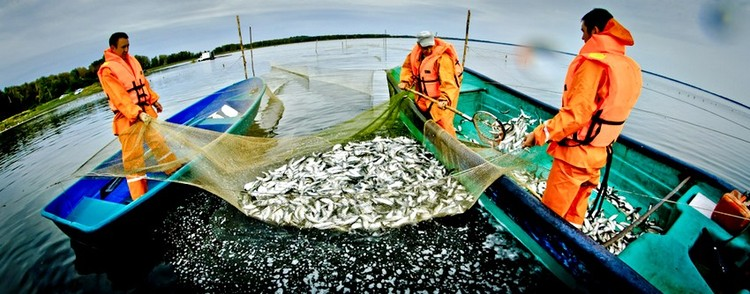 «Балык» зарыбляет и выращивает в естественных водоемах сига, пелядь, карпа, белого амура и другие промысловые виды рыб. Фото: АО «Россельхозбанк»