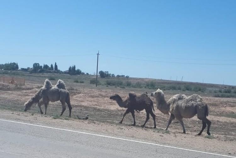 """Животные подходят к дороге в надежде на """"вкусняшку"""" от туристов. Фото: администрация Икрянинского района"""