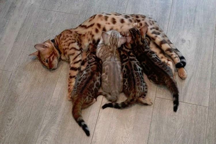 У этих котиков притягивающий взгляд леопардовый окрас. Фото: avito.ru