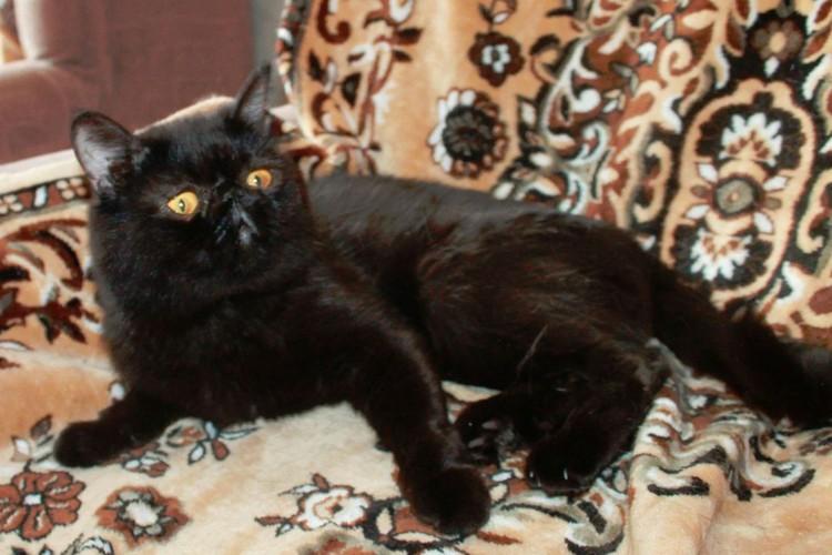 Огромные глаза, приплюснутый носик и милейшие щечки делают эту породу одной из самых популярных. Фото: avito.ru