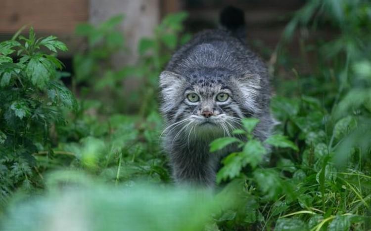 На территории зоопарка снова можно наблюдать за манулом. Фото: Московский зоопарк