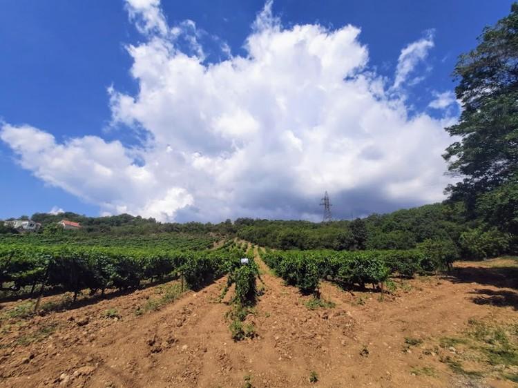 Сбор винограда вполне подойжет для тимбилдинга и празднования дня рождения