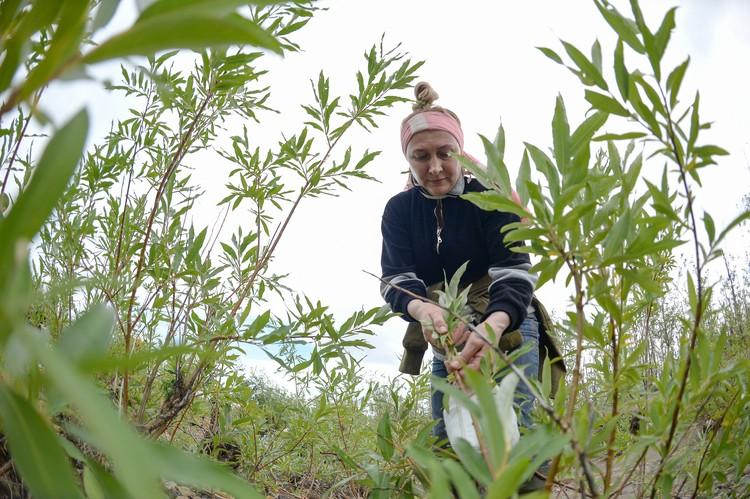 Ученые ботанического профиля собирали и описывали растения на местности. Затем на основе химического анализа листьев ивы и надземной части травянистых растений они сделают вывод о состоянии флоры