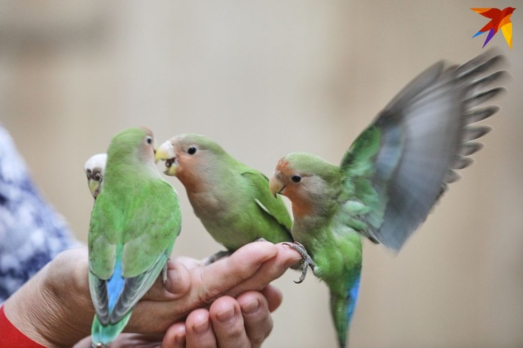 Попугаи чирикают и летают стаями.