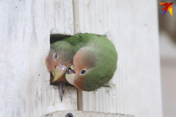Некоторых птиц, например, неразлучников, продают только по парам.