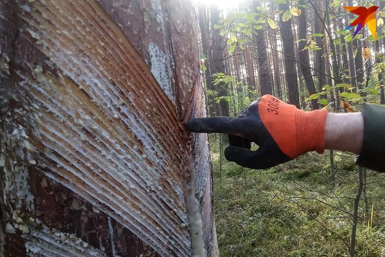Надрезы должны быть определенной глубины, если прорезать глубже - повредишь дерево, меньше - не будет течь смола.