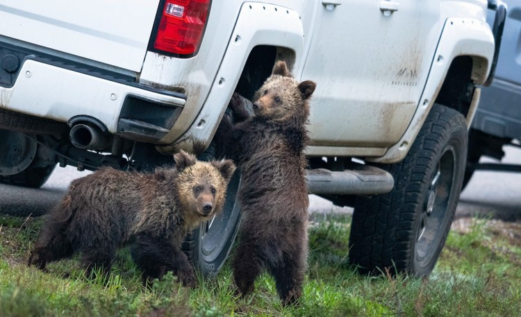 «Ты пока колесо отвинти, а я за магнитолой». Медвежата на этом снимке так похожи на молодых гопников «с раёна». Фото: (C)2020 kay kotzian all rights reserved