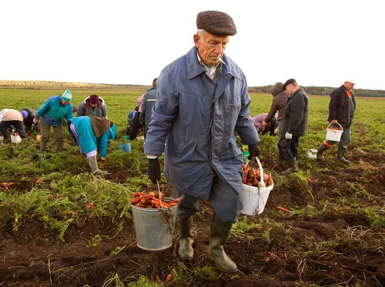 На 1 сентября 2020 года в Томской области с полей убрано больше овощейи картофеля, чем в прошедшем году, собрано зерновых, картофеля и овощей