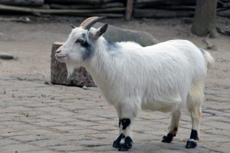 Камернуские козы - стадные животные. Фото: сайт пермского зоопарка.