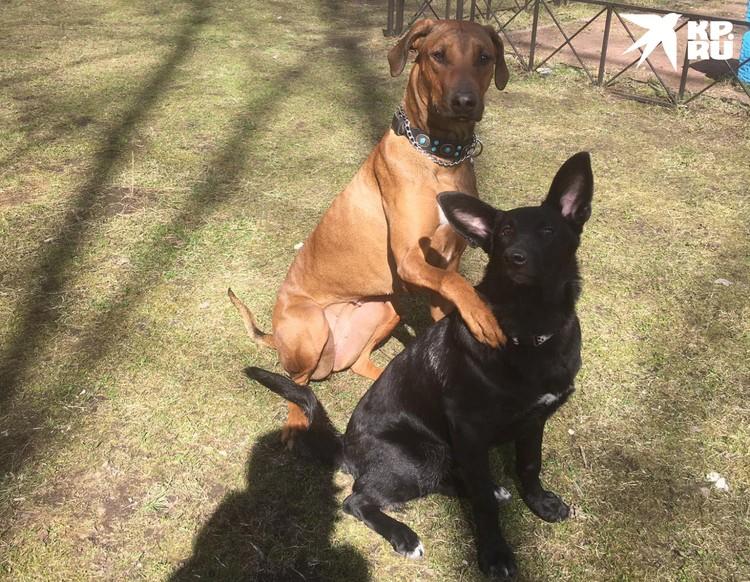 Максимум Олеся берет на передержку двух собак. Но только в том случае, если они могут друг с другом ужиться