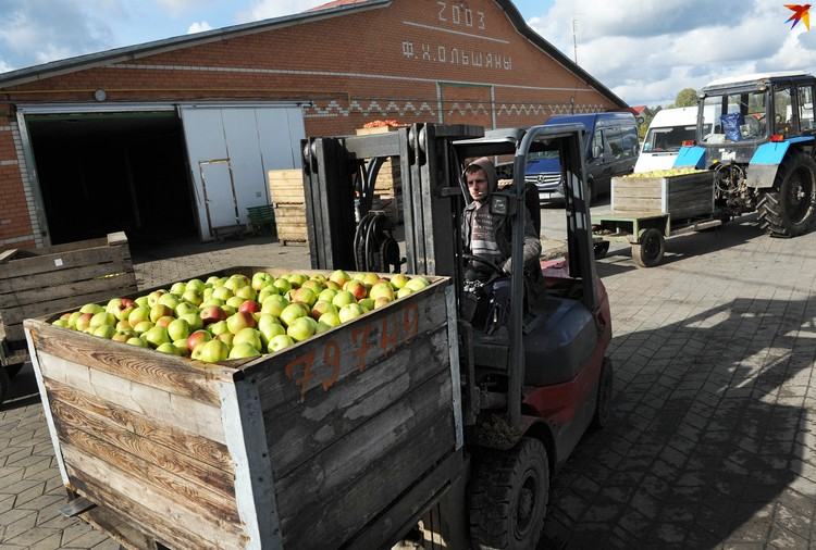 Яблоки после сортировки в фермерском хозяйстве идут в хранилища или сразу на погрузку в фуры.