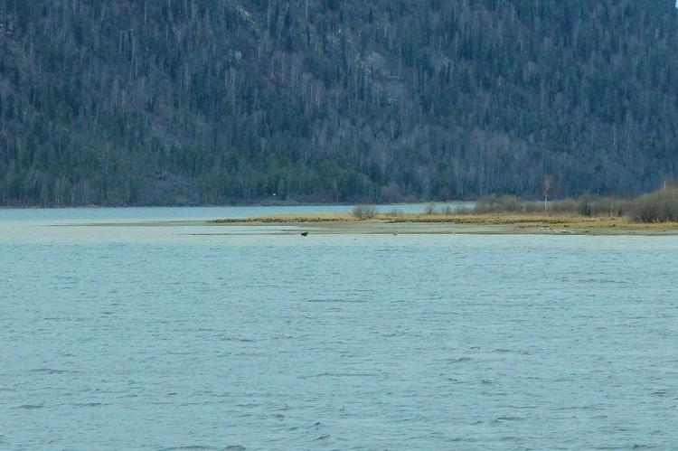 Лосенок в воде. Фото Светланы Кульбацкой