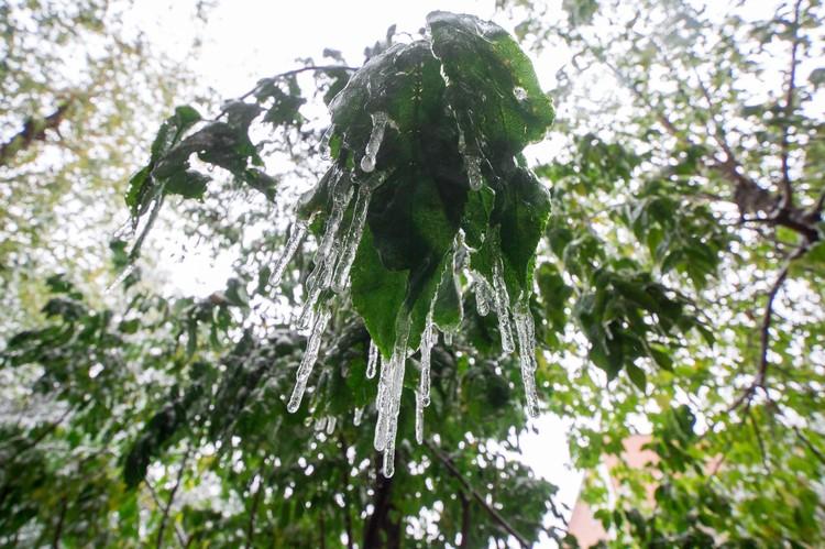 Ледяной дождь - серьезное испытание для деревьев