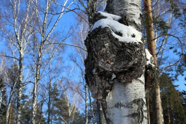 Чагу называют «рак березы». Она губит деревья, зато исцеляет людей.