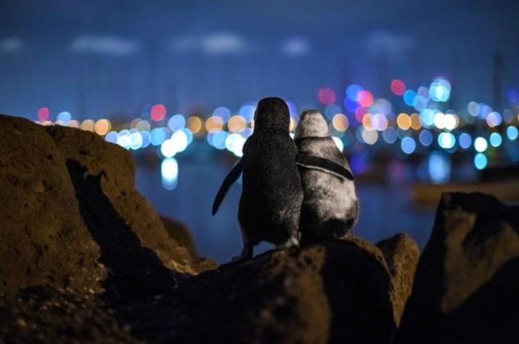 Тобиас Баумгартнер. «Пингвины любуются огнями Мельбурна». «Приз зрительских симпатий». Фото: Tobias BAUMGAERTNER