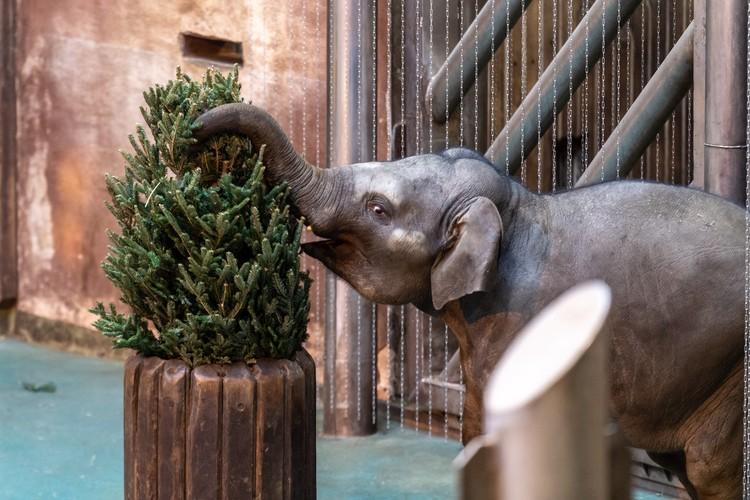 Слоны к новогоднему столу получили яблоки, бананы и груши.