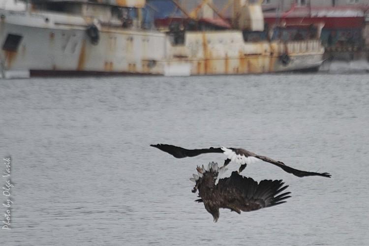 Схватка между двумя хищными птицами произошла над волнами бухты Золотой Рог во Владивостоке. Фото: Ольга Васик