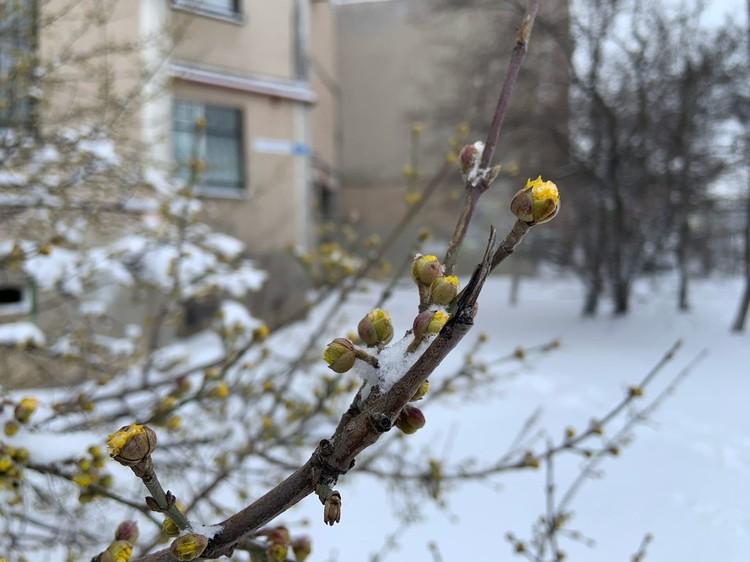 Крымский кизил уже планировал зацвести, но погода внесла коррективы