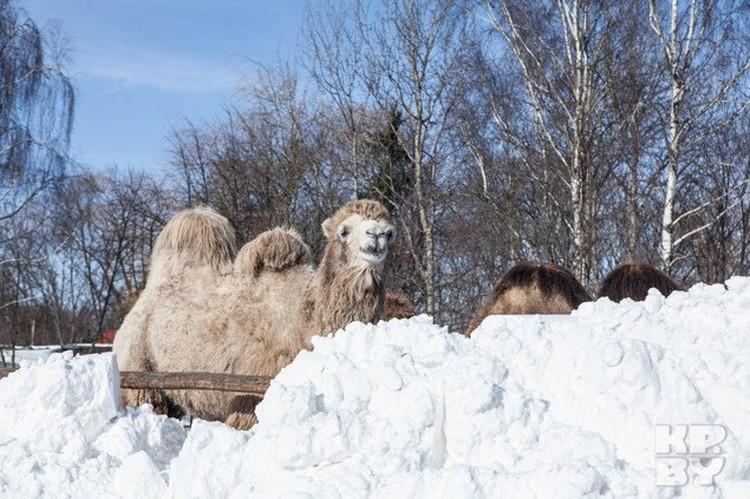 Верблюды явно не ожидали таких снегопадов!