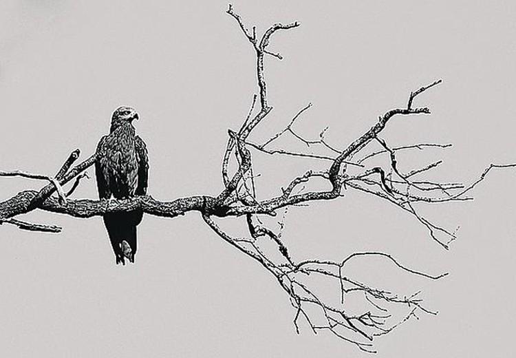 Черный коршун. На черно-белом фото. Фото: личный архив.