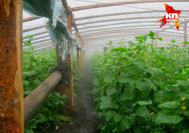 Чтобы огурцы и помидоры росли быстрее, теплицы отапливают углем
