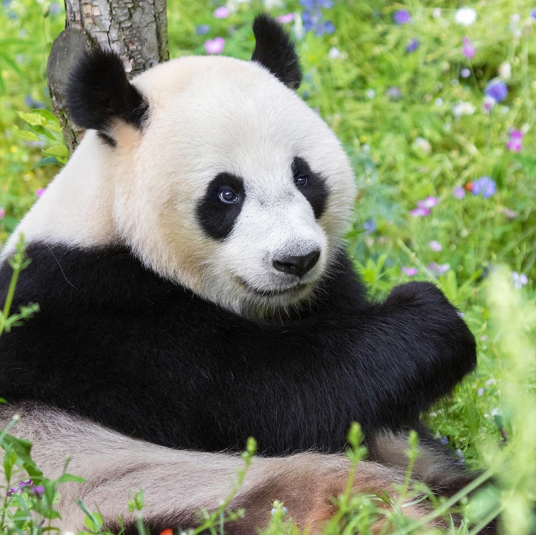 Gfyls находятся под угрозой исчезновения и обитают в дикой природе лишь в Китае